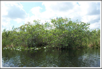 Everglades:  Trees & Lillies