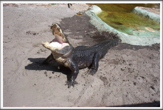 Everglades:  Alligator Show