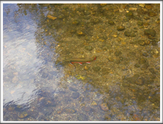 Red Belly Brook Trout
