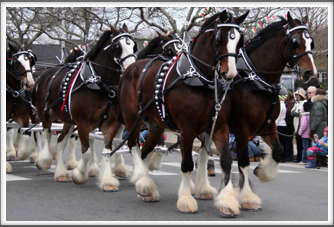 Clydesdales on the move  (Google image)
