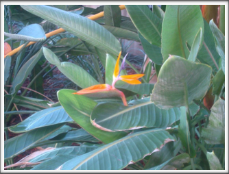 Bird of Paradise - near the Chihuly Museum